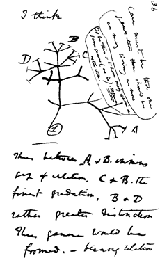 Charles Darwin's 1837 sketch, his first diagram of an evolutionary tree.
